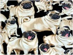 Pugs On Black, Timeless Treasures