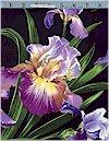 Primavera Iris, Michael Miller