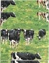 Down on the Farm, Cows. Robert Kaufman